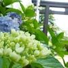 紫陽花と茅の輪くぐり 愛知県護国神社