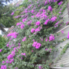 ネパ-ルの花、ブ-ゲンビリア
