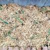 敷き藁で玉ねぎの防寒