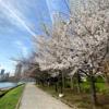 聖路加タワー前の桜