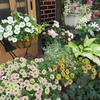 「まつこの庭」・ペチュニア&カリブラコアコレクション