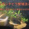 セボシタビラ繁殖法④水槽に二枚貝を入れて産卵させる方法!