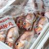 2020年4月13日 小浜漁港 お魚情報