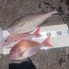 【船釣り】串本沖でカツオは撃沈もイサキは安定の爆釣でクーラー満タン