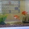 水槽に金魚が増えました。西に水槽で金運アップはうそ?