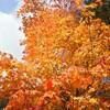 新穂高は紅葉真っ盛りです!