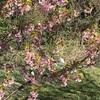 河津桜を見に行く〜寒いけど春を感じた