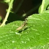 シュウメイギクの葉の上に,カマキリの幼虫を発見.カマキリの孵化は,季節を知る目安になるとされてきました.二十四節季七十二候「芒種(ぼうしゅ)」の初候「蟷螂生(かまきりしょうず)」 6月5日頃とされていますが,「カマキリの孵化が6月」では遅いと思うのですが---.なお,七十二候に取り上げられている昆虫は,ざっと数えてみたところ5種:蝶ちょう,蚕ほたる,蟷螂かまきり,寒蝉ひぐらし,蟋蟀こおろぎ.