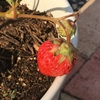#2 イチゴ 少しだけ収穫
