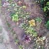 レベル1の花壇に新しい仲間のホスタとヒューケラとベテランの玉竜を配置!