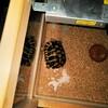 夜中に動き回るヘルマンリクガメ