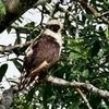 ベリーズ 川岸の Laughing Falcon(ラーフィング ファルコン)