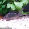熱帯魚 観賞魚 ブロキス スプレンデンス 1匹