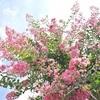 京都御苑のサルスベリ、見ごろと開花情報。