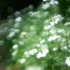 不思議な白い花:MiCa-ArtLens.Ver1