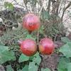 カンボジアの植物の写真も