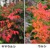 ヤマウルシの紅葉:私が住むところから眺めた紅葉の遠景で最も目立つ赤.美しいですね.関西の各地で目立っていたハゼノキやヤマハゼもウルシ属.紅葉は美しいけれどウルシ属の学名Toxicodendronは毒の樹の意味.世界中で人々をかぶれさせてきた植物たち? ところがウルシ科の学名はカシューナッツ属Anacardium由来.カシューナッツ,さらにはマンゴーもウルシ科.思いもつかないことでした.
