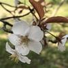 桜の精霊と音の響きあいから生まれたtuning  water について
