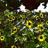 ひまわりの写真をFotoSketcherとGIMPでアートっぽく加工。