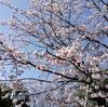 大仙公園横の平成の森で大寒桜(オオカンザクラ)がけっこう咲いてた。2019年3月9日開花状況【大阪府堺市堺区】