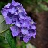 天龍寺の紫陽花、見ごろと開花状況。