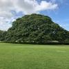 この木なんの木気になる木 ハワイでホンモノ見て来ました!
