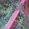 花色不明なモッコウバラ