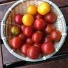 トマト収穫2回目
