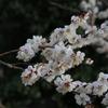 【水戸の春】もうすぐ偕楽園で梅まつり