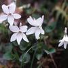 タチツボスミレの品種と変種