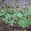 【家庭菜園】今日のオクラ(10回目の収穫、13、14、15本目)