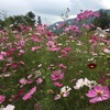 コスモス咲く国営アルプスあづみの公園へ、無料入園日に行く