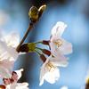 コロナ騒ぎの中で上野で桜を撮ってきた奴がコイツでございます。