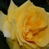 2014/05/14 去年ウチにやってきたゴールドバニー キレイに開花