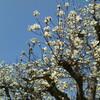 散る桜、残る桜も散るさくら