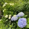 梅雨入りまじかの自宅周辺点景~紫陽花やアカンサスが満開です~