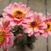 つい買っちゃうお花とつい建てちゃう⁉️鶏小屋w
