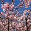 河津桜とモズ 2016 2月