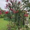 矮性サルスベリと最後の高砂ユリ開花♫