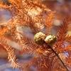 石川東公園に黄葉したラクウショウを見に行ってきました