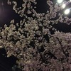 名古屋の夜桜=飯田町の大寒桜と寒緋桜