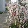 今日も桜、毎日でもいい。