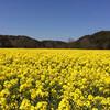 幸せの黄色い絨毯 in 桶ヶ谷沼