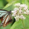 渡りをする蝶「アサギマダラ」を撮る
