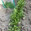 家庭菜園の野菜と果物たち(春菊、ピーマン、大葉、スモモ)