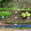 【家庭菜園】種まいて、1か月後(再び、種まき、間引きあり)