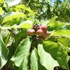 美味しそうな桃色の実と赤い種を持つ コブシ