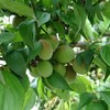梅の木に梅の実が鈴なりに実ってます