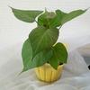 ポット苗から育てるさつまいも栽培。季節外れのポット苗は冬越しできるのか?