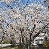 憎っくきコロナによる外出自粛ムード。それでも桜の魅力は色褪せない!